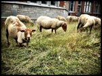 In Gent komen de schapen samen op hun eigen Vlasmarkt. Ook zij gaan gebukt onder het axioma van bilocatie.